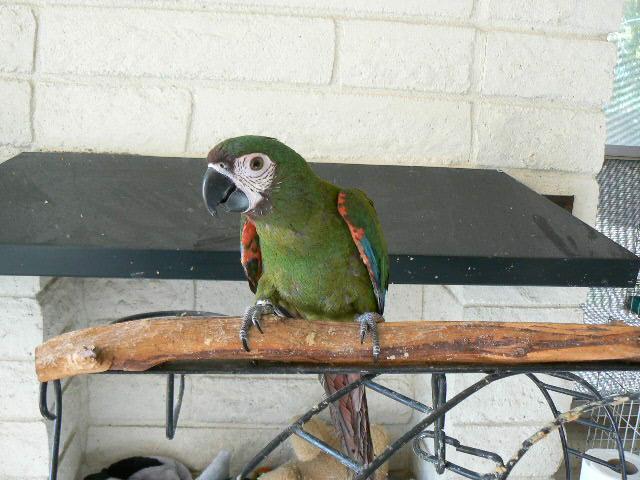 Mini Yellow Yellow Collar Mini Macaw One