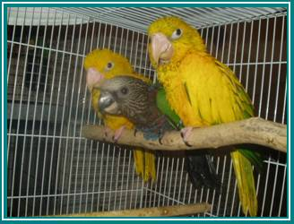 Baby parrots for sale